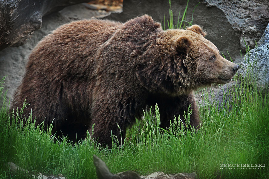 calgary commercial photographer zoo grizzly bear photo